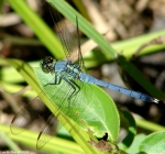 HSNP Ricks Pond Blue Dragonfly