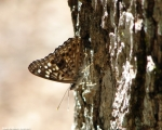 HSNP Ricks Pond Hackberry Emperor Butterfly