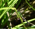 HSNP Ricks Pond Green Dragonfly