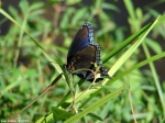 HSNP Ricks Pond Red Spotted Purple Butterfly