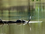 HSNP Ricks Pond Turtles On Log