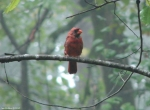 Hot Springs Mountain Trail Molting Male Cardinal In Fog