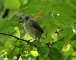 West Mt. Oak Trail Tufted Titmouse Chick