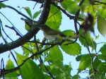 West Mt. Top Trail Mystery Vireo Warbler