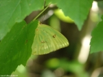 HSNP Fountain Street Clouded Sulphur Butterfly