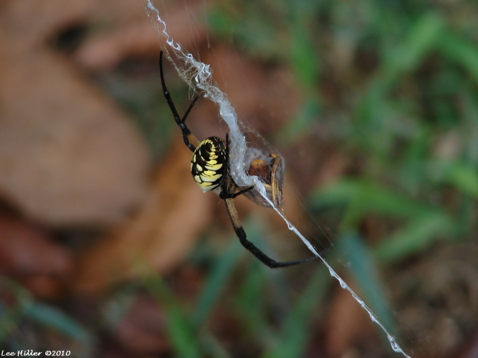 HSNP Fountain Black Yellow Argiope Spider