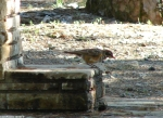 Hot Springs Mountain Picnic Area Juvenile Robin