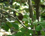 Short Cut Trail Carolina Wren