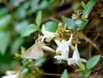 Arlington Lawn Moth On Blossom