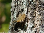 Floral Trail Hackberry Emperor Butterfly