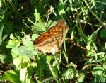 Hot Springs Mountain Trail Variegated Fritillary Butterfly