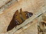 HSNP Fountain Hackberry Emperor Butterfly