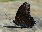 HSNP Fountain Red Spotted Purple Butterfly
