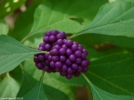 Upper Dogwood Trail Callicarpa