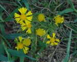 Carriage Road SneezeWeed