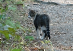 HSNP Short Cut Trail Feral Cat