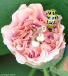 Arlington Lawn Peony Spotted Cucumber Beetle