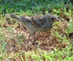 Arlington Lawn Sparrow Family