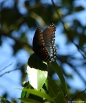 Peak Trail Red Spotted Purple Butterly