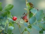 Tufa Terrace Wild Rose Hips