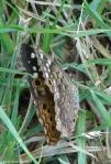 Arlington Lawn Hackberry Emperor Butterfly