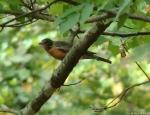 Upper Dogwood Trail Juvenile Robin
