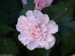 Arlington Lawn Pink Peony