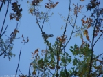 Carriage Road Autumn Juvenille Blue Jay