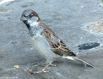 Central Ave Male House Sparrow