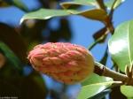 Fountain Street Magnolia Seed Pod