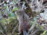 Tufa Terrace Chipmunk