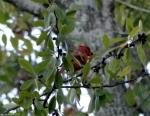 Promanade Male Cardinal