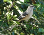 Tufa Terrace Northern Mockingbird