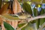 Fountain Street Sparrow