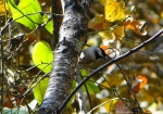 Hot Springs Mountain Trail Black-Capped Chickadee
