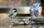 HSM Picnic Area Black-Capped Chickadee