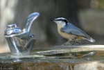 HSM Picnic Area Red Breasted Nuthatch