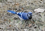 Tufa Terrace Blue Jay