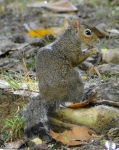 Hot Springs National Park, AR Arlington Lawn Squirrel