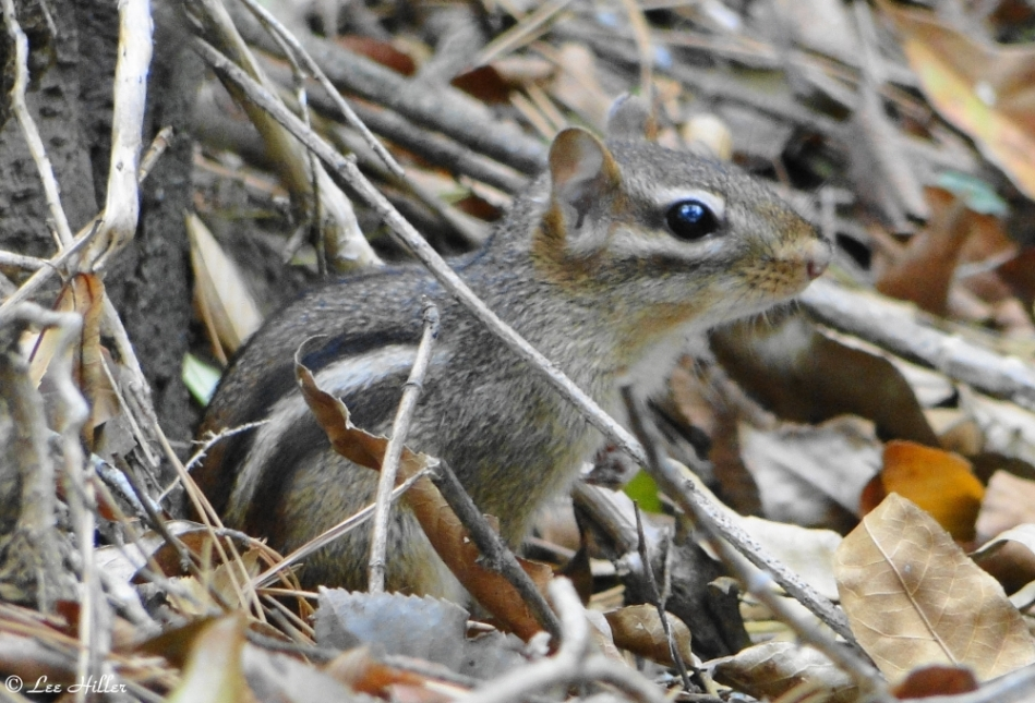 Peak Trail Chipmunk