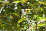 Floral Trail Tufted Titmouse