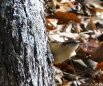 Hot Springs Mountain Trail Carolina Wren