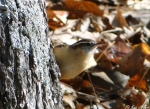 Hot Springs Mountain Trail Carolina Wren
