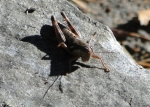 Hot Springs Mountain Trail Grasshopper
