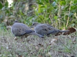 Carriage Road Mourning Doves