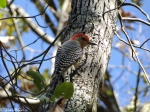 Short Cut Trail Red Bellied Woodpecker