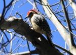 Short Cut Trail Red Bellied Woodpecker