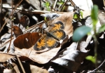 HSNP Upper Dogwood Trail Pearl Crescent Butterfly