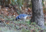 Carriage Road Blue Jay