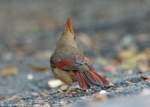 Dead Chief Trail Female Cardinal